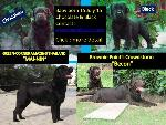 Chocolate & Black labrador puppies are available Babies born 15 July 2015 at Greencorner Labrador Ke