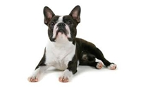 Boston Terrier - ��ʵѹ ����������