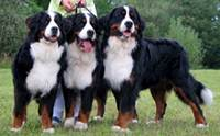 ������ ��ҹ�෹��͡ - Bernese Mountain Dog