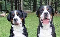 �÷���� ������ ��ҹ�෹��͡ - Greater Swiss Mountain Dogs