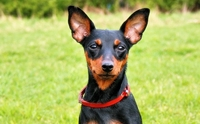 �������Թ������ - Miniature Pinscher