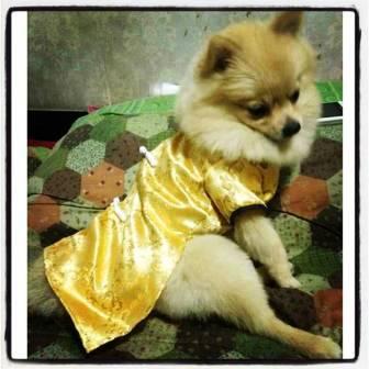 น้องที่รักในชุดจีนสีเหลืองทอง www.dogacat.com