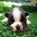 Ubon Dog