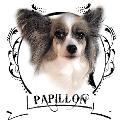 Papillon ฟาร์มสุนัขพันธุ์ฺแท้