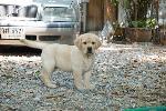 GREEN-CORNER THAILAND VALENTINE'S DAY 2018<puppies>