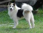 แนวทางการเลี้ยงดู สุนัขสายพันธุ์ ไทยบางแก้ว (Thai Bangkaew)