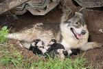 เปิดจองลูกสุนัขบางแก้ว!!!!!