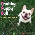 CHUBBY PUPPY BULL