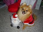 ปอมเมอเรเนียน หมาขนาดเล็ก น่ารัก ขนฟู