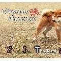 Shiba inu Thai Hanamori Sou