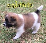 ลูกสุนัขบางแก้วคลอด 29 ก.ย.63