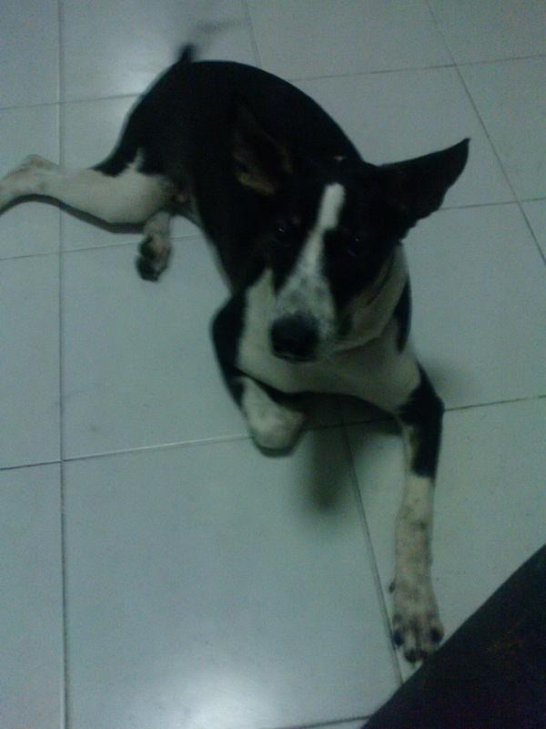 หมาหางควง 55
