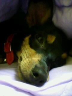 หมาผ้าห่ม