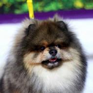 รูปของ Seven Pomeranian