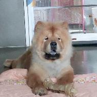 รูปของ chowchowdog