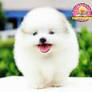 รูปของ PuppyPomfarm