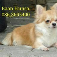 Baan Hunsa Chihuahua