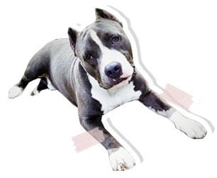 dog of the week, ฮาร์เปอร์, พิตบูล