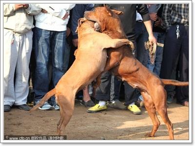 Dogilike.com :: สื่อจีนเผยภาพการต่อสู้สุนัขสุดโหด ชาวเน็ตวิจารณ์ยับ !