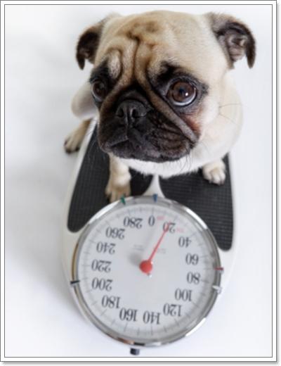 Dogilike.com :: รู้ได้ยังไงว่า น้องหมาของเราอ้วน