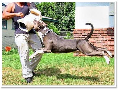 Dogilike.com :: สิ่งที่ผู้เลี้ยงควรรู้ก่อนตัดสินใจเลี้ยงสุนัขสายพันธุ์ดุ!!!
