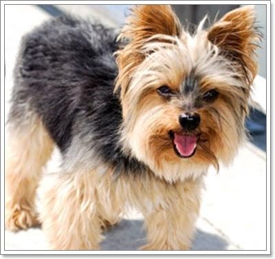 Dogilike.com :: ฝึกสุนัขพันธุ์เล็กให้เป็น ยามเฝ้าบ้าน