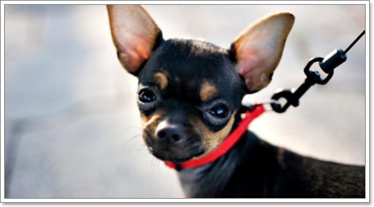 Dogilike.com :: 4 พฤติกรรม ของสุนัขพันธุ์เล็กที่อาจก่อให้เกิดอันตรายได้