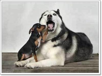 Dogilike.com :: ยุติสงคราม น้องหมาใหญ่สุดซ่า กับน้องหมาจิ๋วสุดแสบ