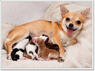 Dogilike.com :: สัญญาณที่บ่งบอกว่า น้องหมา(อาจจะ)ท้อง!
