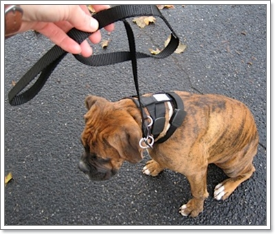 Dogilike.com :: วิธีจูงสุนัข (ดุ) อย่างปลอดภัย