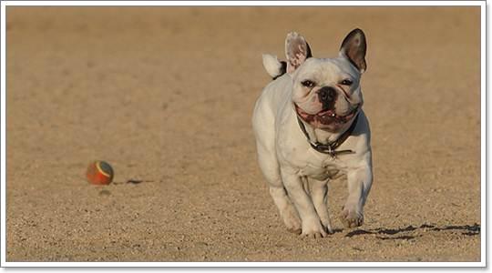Dogilike.com :: น้องหมาพันธุ์เล็ก ... ออกกำลังกายยังไงให้ถูกวิธี