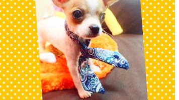 Dogilike.com :: หมาน้อย โบว์แมน
