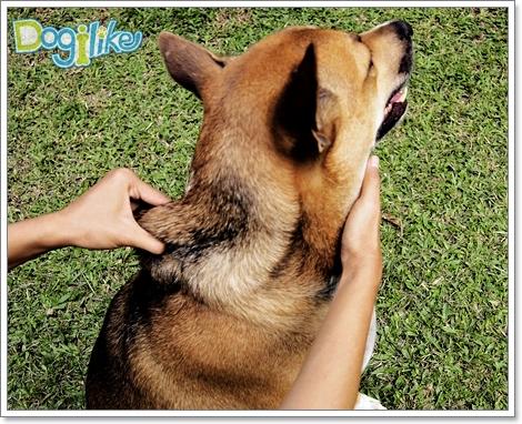 Dogilike.com :: ผ่อนคลายน้องหมาด้วยการนวดหลังและไหล่ [ตอนที่ 3]