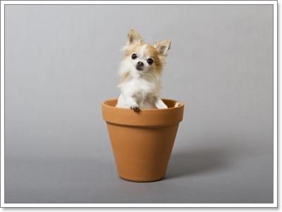 Dogilike.com :: รวมฮิตกินเนสบุ๊ค น้องหมาตัวเล็กที่สุดในโลก!!!
