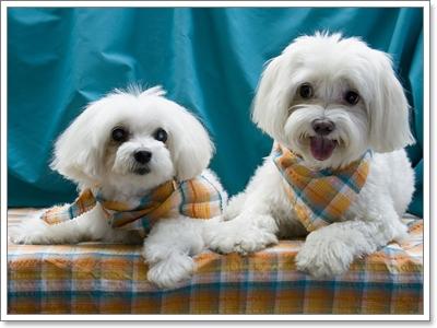Dogilike.com :: มารู้จักสุนัขพันธุ์เล็ก...น้องหมาสุดฮิตพ.ศ.นี้!!!