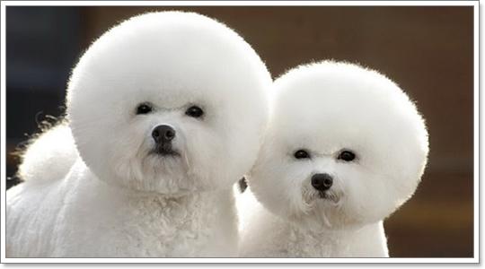 Dogilike.com :: บิชอง ฟริเซ่ น้องหมาแอฟโฟร่ หัวใจบานฉ่ำ