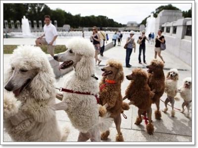 Dogilike.com :: 8 เหตุผลที่ พุดเดิ้ล เป็นน้องหมาสุดฮิตตลอดกาล