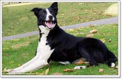 Dogilike.com :: ยลโฉม! มิดจ์ สี่ขาต้อนแกะราคาแพงที่สุดในโลก!