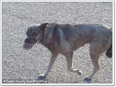 Dogilike.com :: เจ็บปวด! สุนัขถูกเทปพันปากลิ้นบวมเย็บ 100 เข็ม