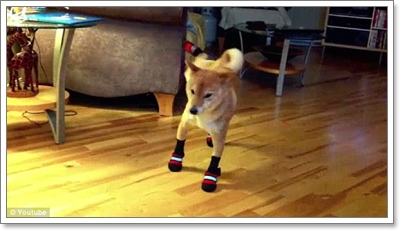 Dogilike.com :: สื่อนอกเผย! คลิปน่ารัก น้องหมานักบัลเล่ต์