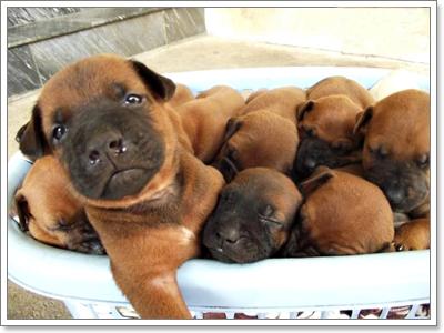 Dogilike.com :: ไทยหลังอาน สุดยอดสุนัขสายพันธุ์ไทยหายากติดอันดับโลก