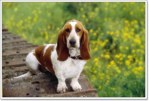 Dogilike.com :: 10 สายพันธุ์น้องหมาเหมาะเลี้ยงคอนโด!!
