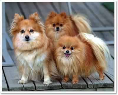 Dogilike.com :: สื่อนอกเผย!! 10 สายพันธุ์น้องหมาไซส์มินิ