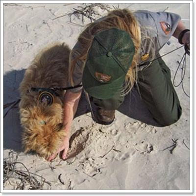 Dogilike.com :: ตูบดมกลิ่น! ช่วยนักวิจัยหาลูกเต่าใกล้สูญพันธุ์
