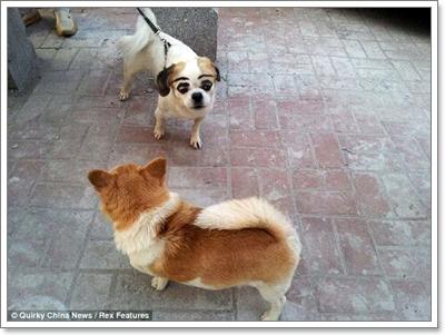 Dogilike.com :: น่ารักหรือน่าสงสาร! สาวจีนใช้ปากกาเพอร์มาเน้นท์วาดคิ้วให้สุนัข