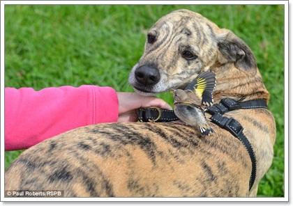 Dogilike.com :: แชะภาพ!  นกน้อยตัวจิ๋วบินเกาะหลังน้องหมา