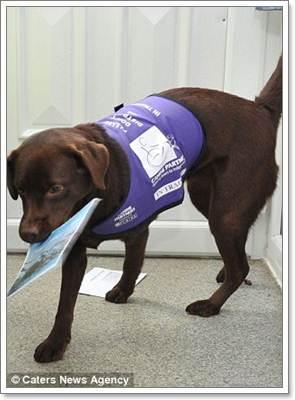 Dogilike.com :: อลูเซีย ลาบราดอร์องครักษ์ ดูแลหญิงพิการ!