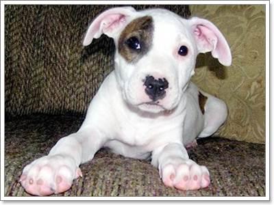 Dogilike.com :: รวมภาพตอนเด็กของสุนัขสายพันธุ์ดุ !!