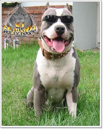 Dogilike.com :: แว่นตาเท่ๆของเหล่าสุนัขสายพันธุ์ดุ