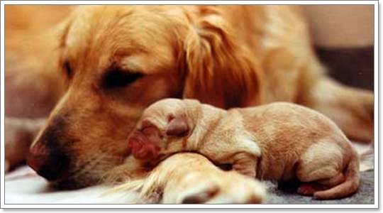 Dogilike.com :: ความผิดปกติของแม่สุนัขหลังคลอด